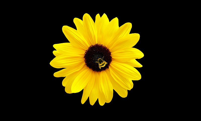 Sunflower and Bee.jpg